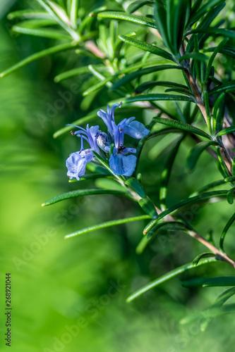 Fototapeta kwitnący rozmaryn w ogrodzie obraz