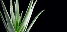 Aloe Vera Closeup. Aloevera Plant On Black Background. Natural Organic Renewal Cosmetics, Alternative Medicine. Skincare Concept