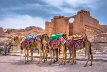 Camels Resting InPetra, Jordan