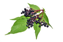 Twig With Elderberry And A Le...