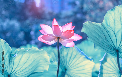 Cadres-photo bureau Fleur de lotus pink lotus flower plants blooming