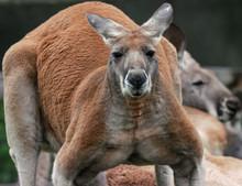 Kangaroo With Big  Muscles Is Watching You