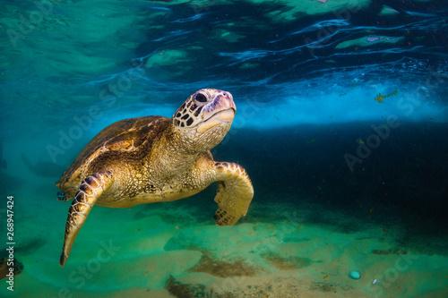 Tortue Hawaiian Green Sea Turtle cruising in underwater Hawaii