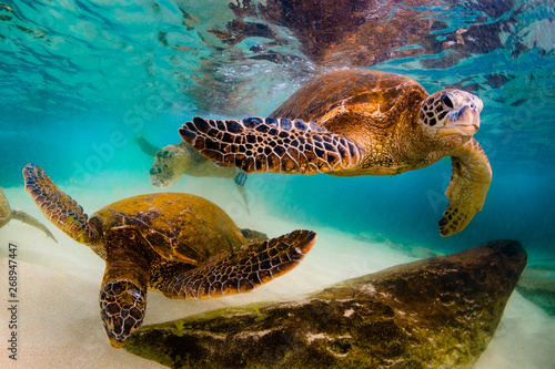 Fotografie, Obraz Hawaiian Green Sea Turtle cruising in underwater Hawaii