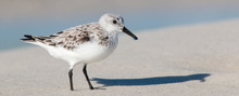 Sandpiper On The Beach Panoram...