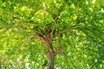 Fototapetagreen leaves wall background, leaf wall nature background,