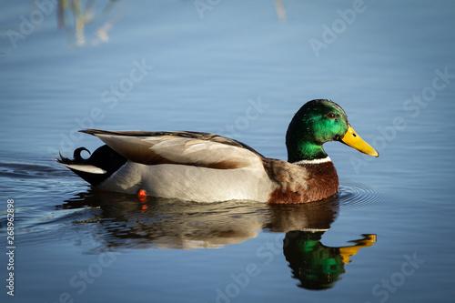 Fényképezés Mallard duck