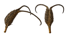 Fruits Of The Medicinal Plant Devil's Claw. The Name Of The Plant Was Due To Hooks On The Fruit, Which Tightly Cling To Everything