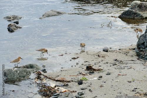 Valokuvatapetti Stints in the shallow water at a sandy beach on Snaefellsnes peninsula