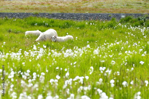 Foto op Aluminium Ontspanning Meadow with sheep and cotton grass in beautiful Iceland