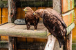 The Golden Eagle sits on a branch in the open-air cage in a zoo in sunny summer day