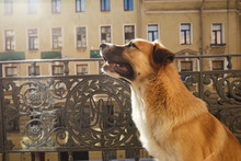 Mongrel Dog On A Balcony Of A ...