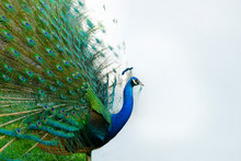 Peacock With Tail In Plume Spread