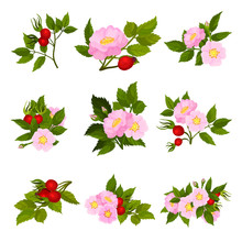 Set Of Images Of Fruits And Flowers Of Wild Rose. Vector Illustration On White Background.