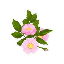 Three Flowers Of Wild Rose On A White Background. Vector Illustration.