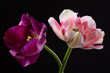Pair Colourfull Tulips Isolated On A Dark Background
