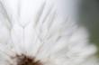Wunderschönes Detail einer Pusteblume