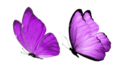 beautiful two purple butterflies isolated on white background