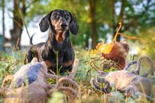 Dachshund Dog Walks On Green Grass Among Many Ticks. Joke. Tick on The Dog Concept