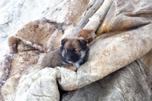 Little Puppy Lies On A Deerskin