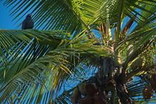 Common Black Hawk On A Coconut...