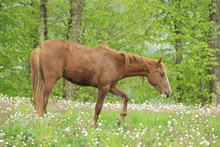 A Young Stallion Walks Across The Field And Eats Grass