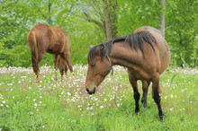 Two Horses Grazing On A Green ...