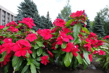 Row Of Red Flowers Of Catharanthus Roseus