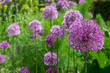canvas print picture - Zierlauch (Allium sp.)