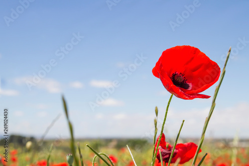 Foto op Canvas Poppy Wild red poppy flower close up