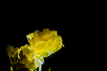 The Yellow Tulip With A Big Bud Blossoms On A Black Monophonic Background. Night Shooting In A Garden