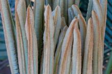 Cycas Palm Plant Fresh Buds Taking Shape Of New Leafs