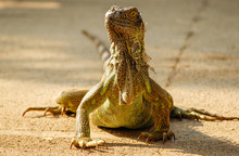 Green Iguana Front View