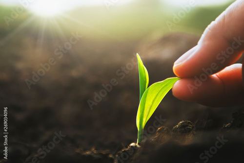Carta da parati hand holding sapling corn in farm with sunset
