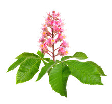 Aesculus X Carnea, Or Red Hors...