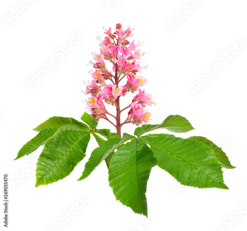 Photo Aesculus x carnea, or red horse-chestnut
