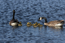 Canada Geese Swimming With Thi...