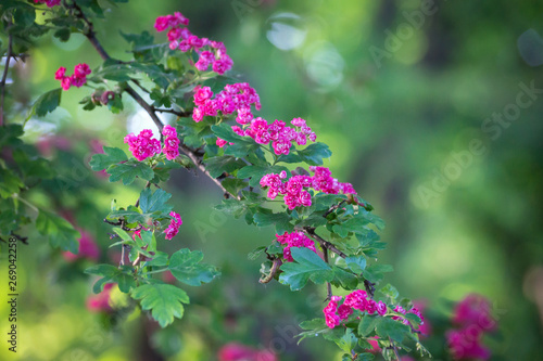 Fotografie, Obraz  Flower of Crataegus commonly called hawthorn, quickthorn, thornapple, May-tree, whitethorn, or hawberry, is a genus of several hundred species of shrubs and trees in the family Rosaceae