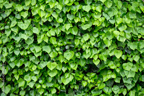 mata magnetyczna Detail of a house wall completely covered with different green leaves