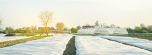 Growing Vegetable. Spunbond To Protect Against Frost And Keep Humidity Of Vegetables. Small Greenhouses. Agricultural Grounds. Farm Field Agriculture Farming. Potatoes. Selective Focus