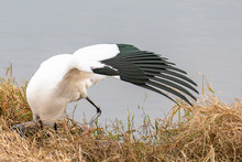 A Wood Stork Hunts For Food With Its Long Beak And Right Wing Spread Open, In Late Afternoon, At The Edge Of A Pond In Orlando, Florida, In Early Spring