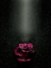 Wet Pink Rose In A Spotlight
