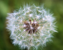 Close-up Picture Of A Dandelio...