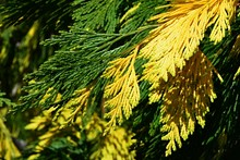 Yellow And Green Leafage Of Incense Cedar Tree, Latin Name Calocedrus Decurrens, Spring Afternoon Sunshine.
