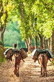 Yunnanese młody mężczyzna z dwoma brązowymi końmi niosącymi liście herbaty w wiklinowych koszach na ścieżce plantacji herbaty. Doi Mae Salong, Tajlandia. - 269059258