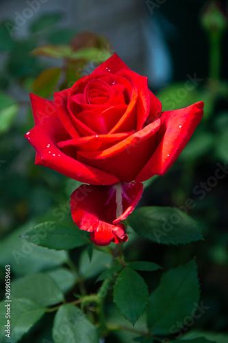 Olympiad Rose-2