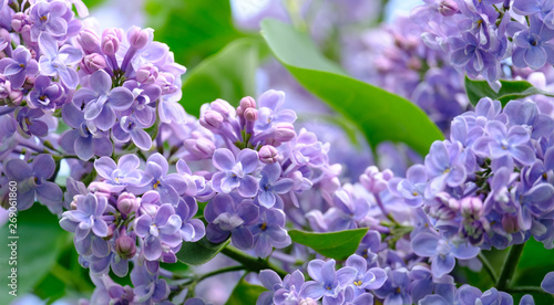 Photo sur Toile Lilac Branch of blossoming lilac