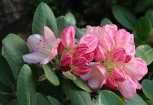 Pink Flowers And Buds Of Rhodo...