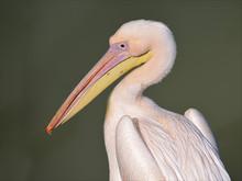 Profile Portrait Of White Pelican (Pelecanus Onocrotalus)