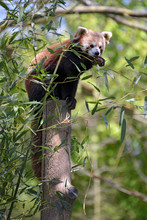 Red Panda (Ailurus Fulgens) Eating A Bamboo Leaf